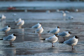 Black-headed Gulls — Stock Photo