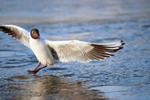 Black-headed Gull — Stock Photo