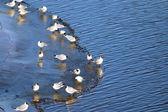 Beyaz martı — Stok fotoğraf
