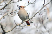 Waxwing bird — Stock Photo