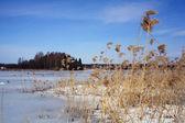 Lake bulrush — Foto Stock