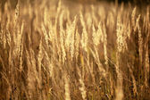 Sedge grass — Stock Photo