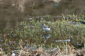 Sandpiper bird in the swamp — Stock Photo