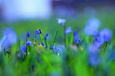 Bluebell flower — Stock Photo