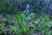 Bluebell flower under water drops — Stock Photo