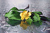 Yellow flowers on water surface — Stock Photo