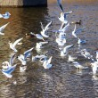 Flock of gulls on the river — Stock Photo #47591399
