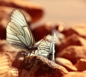 Beautiful butterflies — Stock Photo