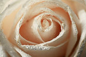 Petals white rose with water drops — Stock Photo
