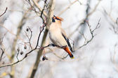 Waxwing on branches without leaves — Stock Photo
