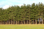 Forest of firs — Stock Photo
