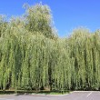 Weeping willow — Stock Photo #18369803