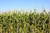 Campo de maíz — Foto de Stock