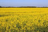полевой сурепки — Стоковое фото