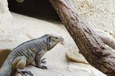 Iguana rinoceronte — Foto Stock