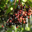 Elderberry — Stock Photo #12710795