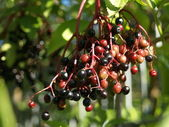 Elderberry — Stockfoto