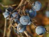 Blackthorn Sloe — Stock Photo
