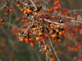 Inflorescence of euonymus shrub in late autumn — Photo
