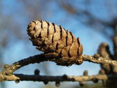 Larch cones — Stock Photo