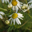 Chamomile - Stock Photo