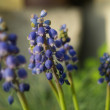 Grape hyacinths - Stock Photo