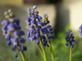 Grape hyacinths — Stock Photo