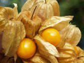 Physalis — Foto de Stock