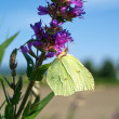 Stock Photo: Brimstone