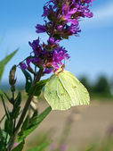 Brimstone — Photo