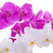 Pink flowers orchid on white background — Stock Photo #19697079