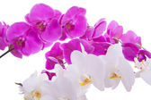 Pink flowers orchid on a white background — Stock Photo