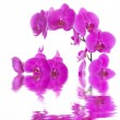 Royalty-Free Stock Photo: Pink flowers orchid on a white background