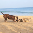 Royalty-Free Stock Photo: Dogs running on the beach