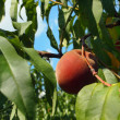 Perfect Peach On A Branch — Stock Photo #12380425