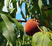 Perfect Peach On A Branch — Stock Photo