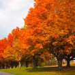 Orange Autumn Trees — Stock Photo #13820139