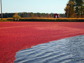 Cranberry Tide — Stock Photo