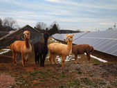 Alpacas At The Solar Farm — Stock Photo