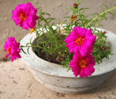 Portulaca Flowers In Concrete Pot — Stock Photo