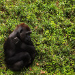 Gorilla Scratching An Itch — Stock Photo