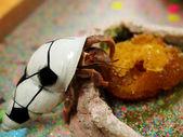 Hermit Crab Pet — Stock Photo
