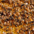 Stock Photo: Honey Bees In Honeycomb