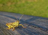 Grasshopper Green on Deck — Stock Photo