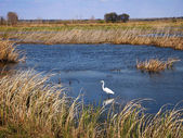 Great Egret In Marsh — Stock Photo
