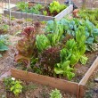 Постер, плакат: Lettuce and Greens Garden