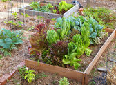Lettuce and Greens Garden — Stock Photo