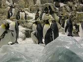 Pinguins in Loro Parque — Foto de Stock