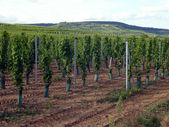 Vineyards in the Alsace region — Stock Photo