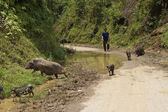 Unidentified Vietnamese man herds pigs — Stock Photo